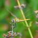 Dragonfly 7 by pj-makrofotografie