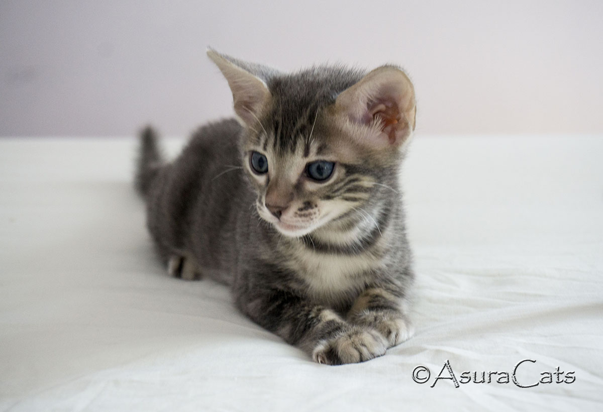 Blue sheeted marble Bengal kitten