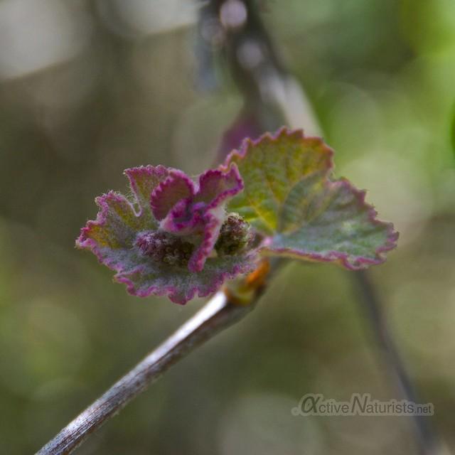 grape vine 0002 Harriman State Park, New York, USA