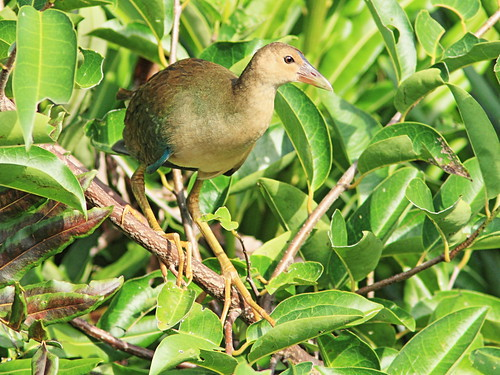 Purple Gallinule immature 20150722