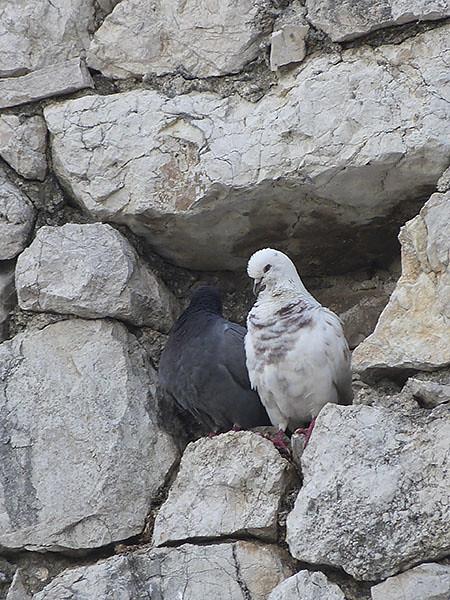 des pigeons