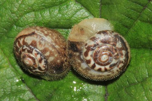 Kentish Snail 1158