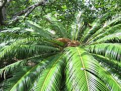 arecales, leaf, tree, forest, natural environment, elaeis, jungle, vegetation,