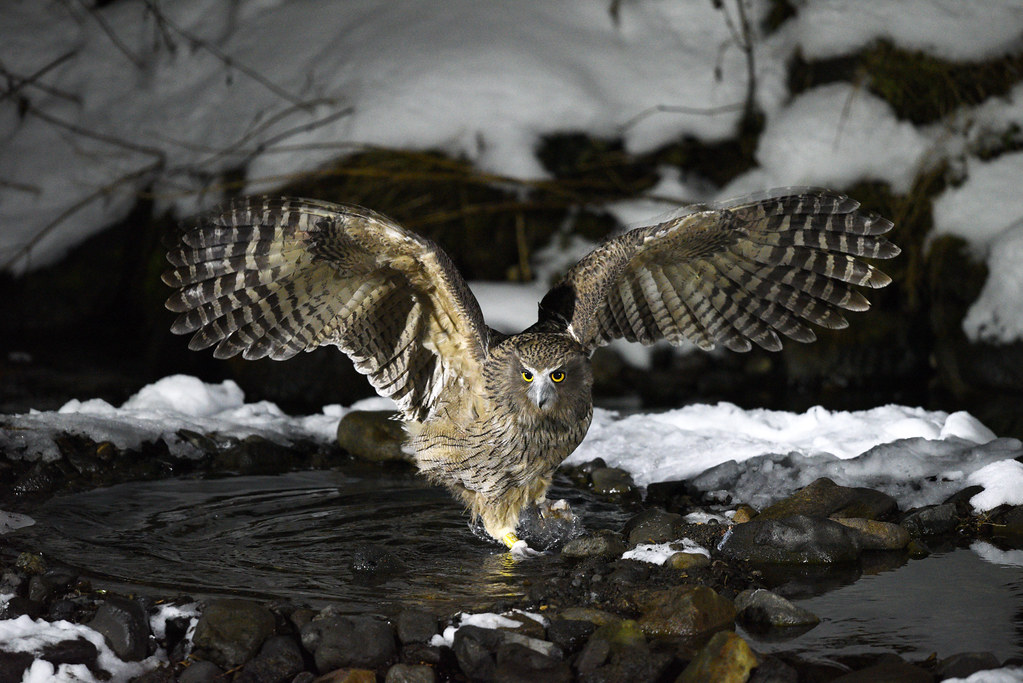 A magnificent Blakiston's fish owl catching a fish