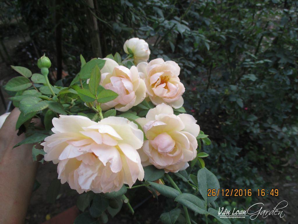 Chùm hoa hồng wollerton old hall vừa cắt xuống