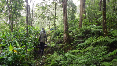 Comparison between outside and inside the fence of The Nature Conservancy's Waikamoi Preserve. Outside (left) the entire understory has been overtaken by invasive ginger. Inside (right) the ginger has been removed allowing native species to grow.