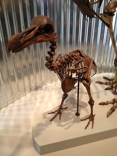 Dodo skeleton