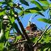 Kingbird chicks just last week by Rebecca Wolff