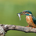 Martin-pêcheur d'Europe Alcedo atthis - Common Kingfisher by Julien Ruiz