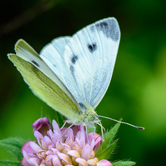nectar(0.0), colias(0.0), arthropod(1.0), pollinator(1.0), animal(1.0), moths and butterflies(1.0), butterfly(1.0), flower(1.0), nature(1.0), invertebrate(1.0), macro photography(1.0), flora(1.0), fauna(1.0), cabbage butterfly(1.0), close-up(1.0), petal(1.0),