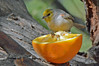 Verdin on Orange