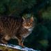 Scottish Wildcat by Lorraine Culloch
