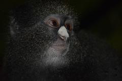 Mono cercopiteco de nariz blanca (cercopithecus nictitans) en Guinea Ecuatorial