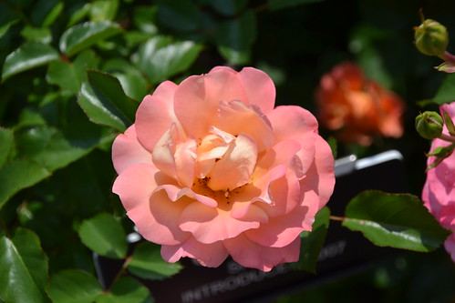 Shrub Rose 'Cubana'