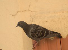 Another Pigeon