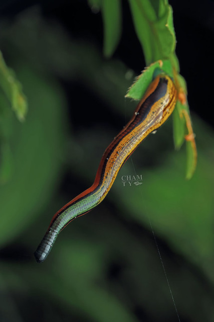 Tiger leech (Haemadipsa picta)