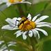 Strangalia maculata on Ox-eye Daisy by AndyorDij