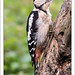 Woodpeckers Tongue by -terry-