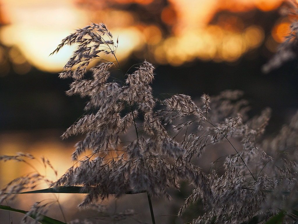 River grass at sunset_c