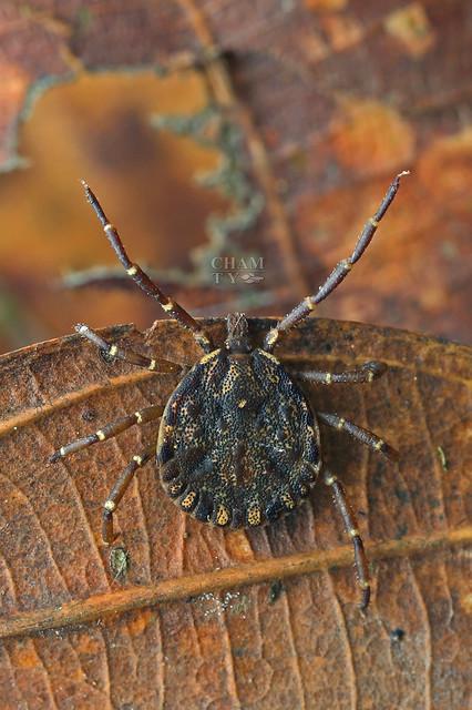 Tick (Parasitiformes)