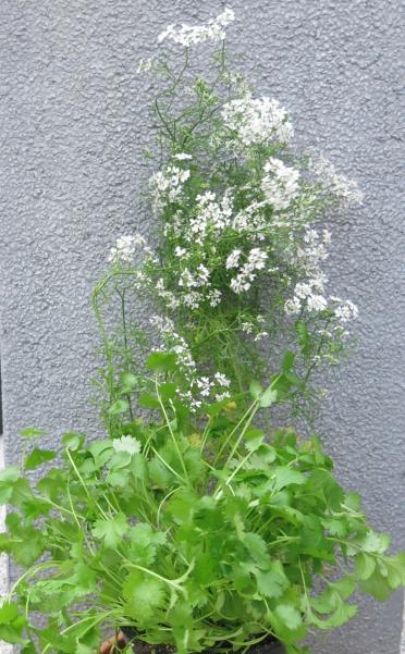 Korianderpflanze