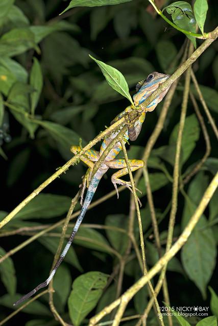 Great anglehead lizard (Gonocephalus grandis) - DSC_5716