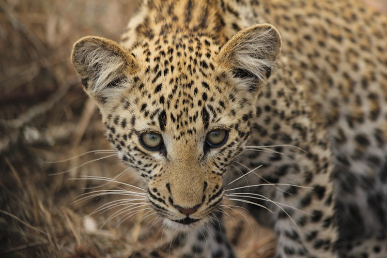 Beautiful leopard cub