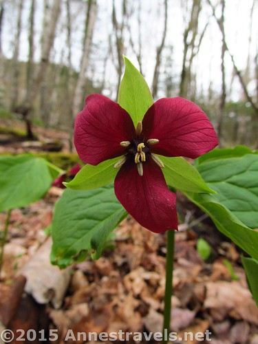 We found a trillium near the parking area - they were quite prevalent here, although they're a rarity where I come from! Table Rock Trail, Grafton Notch State Park, Maine