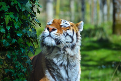 Tiger posing for the camera