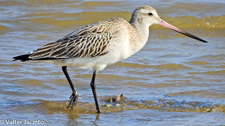 Fuselo // Bar-tailed Godwit (Limosa lapponica)