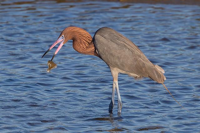 Reddish Egret-39.jpg