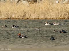 Northern Pintail (Anas acuta), Red-crested Pochard (Netta rufina), Greylag Goose (Anser anser), Common Shelduck (Tadorna tadorna), Gadwall (Anas strepera) & Eurasian Coot (Fulica atra)