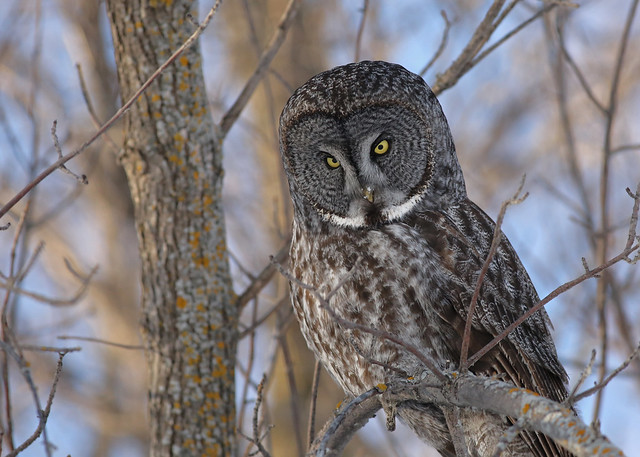Great Gray Owl #23..., Canon EOS 5D MARK III, EF400mm f/5.6L USM