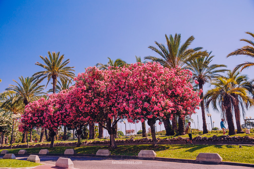 Park with pink oleanders in Cannes