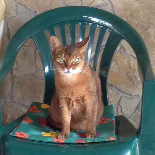 Ты кого в дом понатащила? - молча вопрошает Миуччия. Ну ладно этот придурошный кот повсюду болтался, как невесть что в проруби, так теперь эти юные родственницы поперли гуртом. Я наследство им не отпишу, так и передай! #abyssinian
