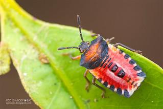 Giant shield bug nymph (Tessaratomidae) - DSC_4885