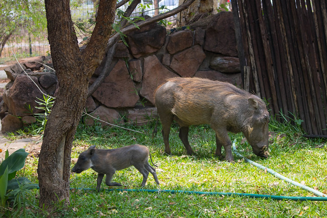 Warthogs in the park