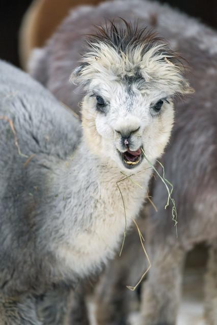 Cute young alpaca