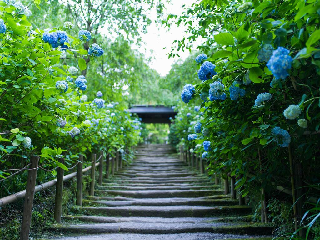 明月院_紫陽花