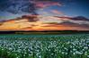 Winchester Poppy Field Sunset-3.jpg by keety uk