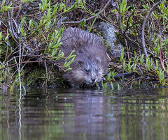 wetland, swamp, animal, rodent, nature, fauna, muskrat, beaver, wildlife,