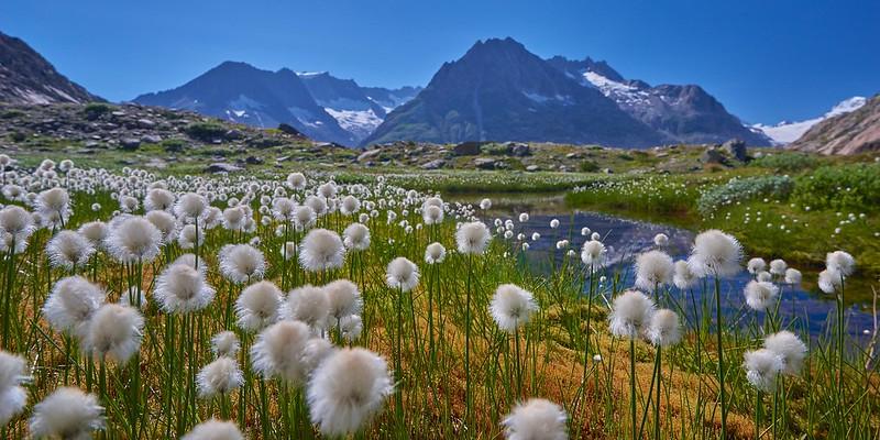 Cotton gras - Märjelensee