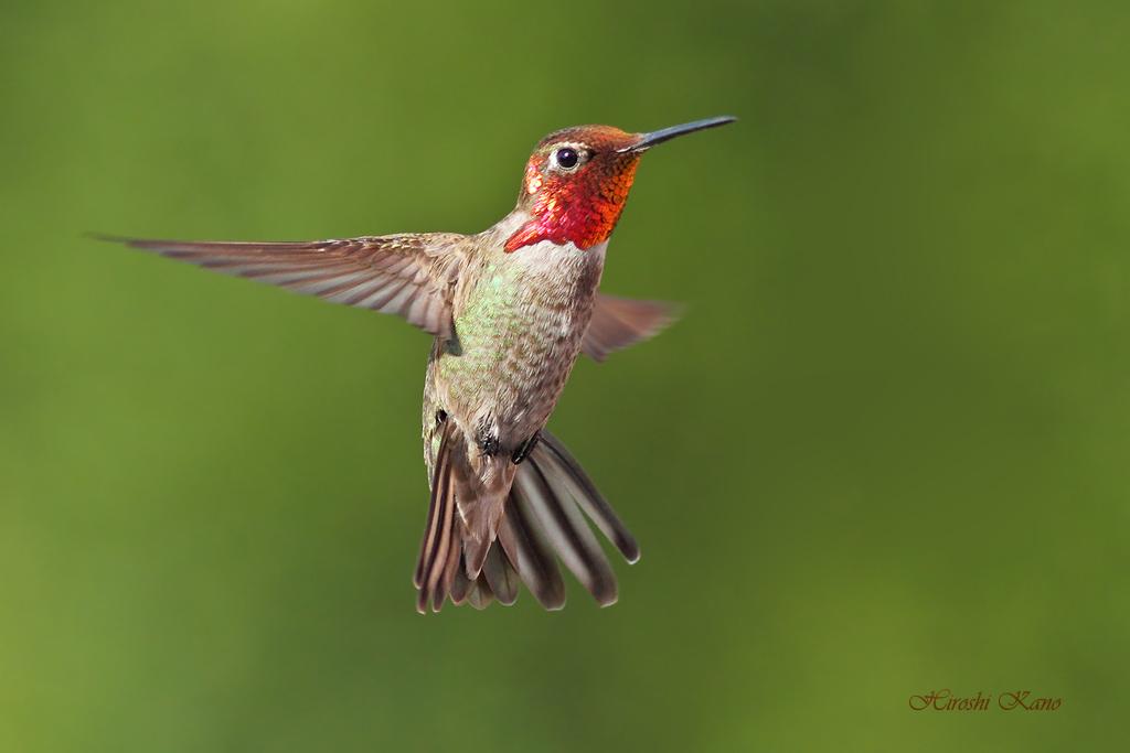 Anna's Hummingbird 1407152