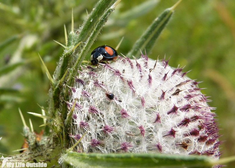 P1140230 - Harlequin Ladybird