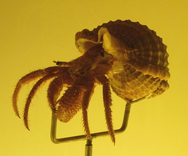 Dardanus calidus 20050105232_434b271734_o