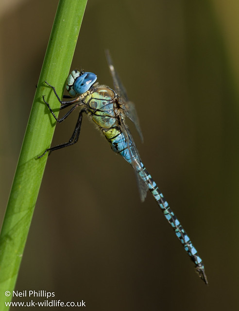 Southern migrant hawker-9