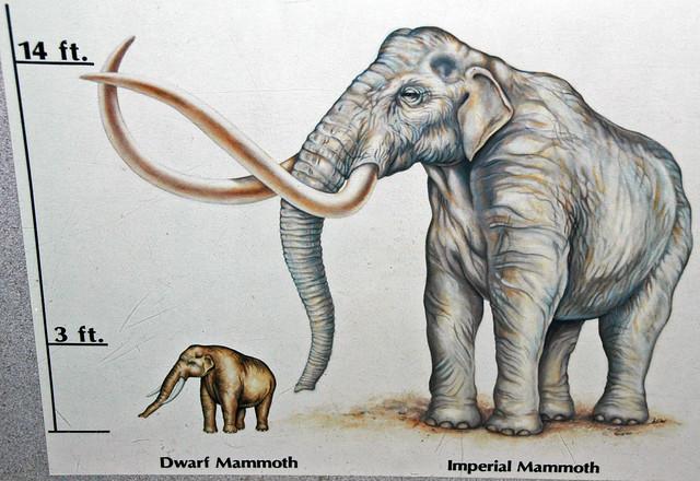 Reconstruction of Mammuthus falconeri (dwarf mammoth) (Late Pleistocene; Mediterranean Sea)