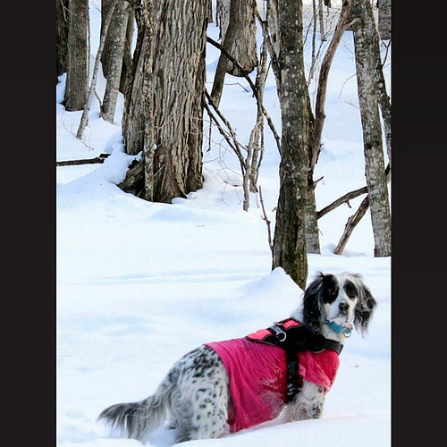 Penny working it while #hiking in #presqueisle #Wisconsin #workingdogwednesday #winterhiking #snow #takeahike #discoverwisconsin #llewellin #englishsetter #settersarebetter #setter #snowshoeing #trekking #adventure #tbt #servicedog #PTSD #anxiety #vilasco