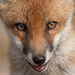 Fox with no ears by Greg Morgan wildlife