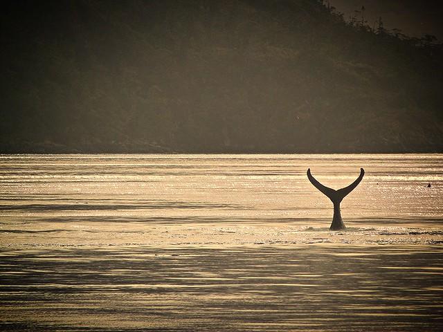Cola de ballena en el Estrecho de Magallanes